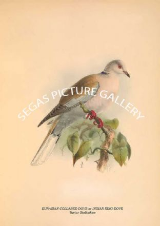 EURASIAN COLLARED-DOVE or INDIAN RING-DOVE - Turtur Stoliczkae
